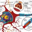 Fino a non molti anni fa si credeva che le cellule nervose fossero a … numero chiuso, cioè perse quelle in dotazione l'essere umano avrebbe virato verso un inesorabile declino cerebrale. Ebbene, i più recenti studi di neurobiologia, dimostrano il contrario, ma a certe condizioni. Vediamo di capirci qualcosa!
