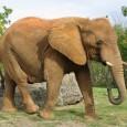 In tutto il continente africano vengono uccisi 35 mila elefanti l'anno, quasi cento al giorno, ad opera di bracconieri che vendono l'avorio delle zanne d'elefante. Organizzazioni criminali internazionali, gruppi terroristici e milizie ribelli si dedicano al commercio del cosiddetto oro bianco, che frutta vari miliardi di dollari l'anno, comporta pochi rischi e garantisce altissimi profitti. I ricchi cinesi alimentano la domanda, soprattutto in Tanzania, mentre il Botswana è il paese africano più virtuoso nella lotta al bracconaggio.