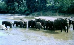 Sri Lanka, Kandy elefanti
