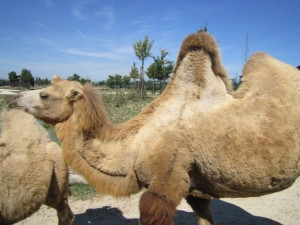 Cammelli al Safari Ravenna