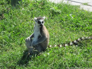Lemure al Safari Ravenna