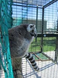 Lemure dormiente al Safari Ravenna