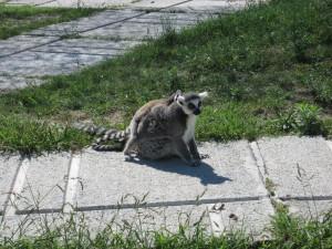 Lemuri (mamma e cucciolo) al Safari Ravenna