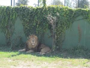 Leone al Safari Ravenna