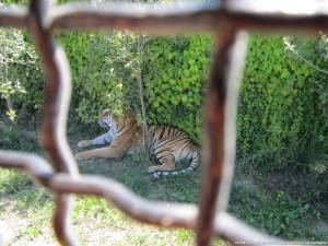 Tigre al Safari Ravenna