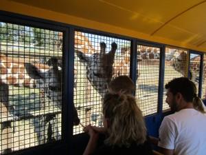 Giraffe a caccia di carote al Safari Ravenna